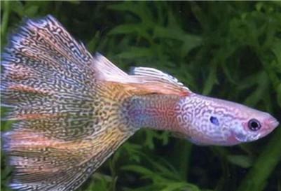 凤尾鱼应该怎么饲养?凤尾鱼的饲养方法及水质要求